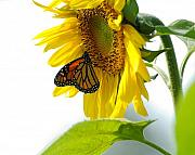 Monarch Metal Prints - Glowing Monarch on Sunflower Metal Print by Edward Sobuta