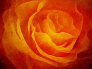 Golden Flowers Metal Prints - Glowing Rose Metal Print by Lutz Baar