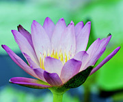 Waterlily Prints - Glowing Softly Print by Melanie Moraga
