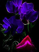 Yvonne Johnstone - Glowing Sweet Peas