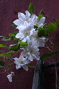 Flowers And Bug - Glowing White Clematis by Lynn-Marie Gildersleeve