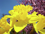 Daffodils Posters - Glowing Yellow Daffodils Art Prints Pink Blossoms Spring Baslee Troutman Poster by Baslee Troutman Fine Art Collections
