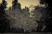 Autumn Photographs Digital Art - Gnarly Birch by Phill  Doherty