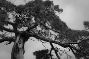 Confederate Monument Photo Prints - Gnarly Cedar Tree Print by Teresa Mucha
