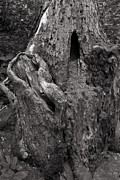Tree Roots Metal Prints - Gnarly Metal Print by Jason Wolters