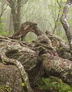 Asheville Prints - Gnarly Old Tree in Fog Along the Blue Ridge Parkway Print by Bill Swindaman