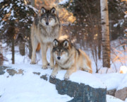 Timber Wolf Photos - Go Get Him by Gerry Sibell