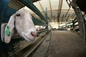 Goat Farming Print by Photostock-israel