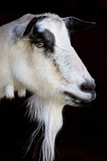 Billy Goats Framed Prints - Goat head Framed Print by John Van Decker