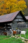 Rustic Scene Prints - Goats at Rose Briar Farm Print by Alan Lenk