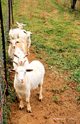 Lifestock Framed Prints - Goats Framed Print by Carolyn Postelwait