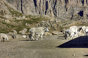Mount Evans Framed Prints - Goats on Mount Evans Framed Print by David Bearden