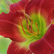 Daylily Photos - God is Listening by Wendy Mallaber