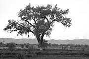 Goddess Tree 3 Print by Matthew Angelo