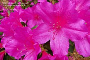 Azalea Pictures Posters - Gods Word with Azaleas I Poster by Sheri McLeroy