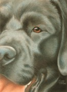 Breed Pastels Posters - Goggie Black Lab Poster by Karen Coombes