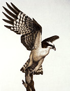 Pencil Drawings - Going Fishin osprey by Pat Erickson