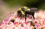Insects Photo Originals - Going for nectar by Michel Soucy