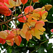 Cassia Photos - Gold and Pink Flowers on Shower Tree by Kirsten Giving