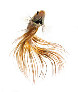 Gold Dress Prints - Gold Betta Fish Print by Visarute Angkatavanich