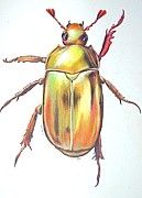 Beetle Drawings Framed Prints - Gold Bug Framed Print by Joan Pollak
