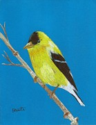 Finch Drawings Metal Prints - Gold Finch Metal Print by Brian White
