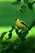 Yellow Beak Photos - Gold Finch by Lyle  Huisken