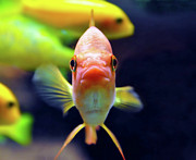 Looking At Camera Art - Gold Fish by Violet Kashi Photography
