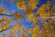 New England Fall Foliage Prints - Gold on Blue- Autumn Aspens Print by Thomas Schoeller