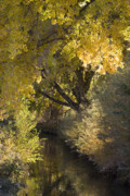 Tree In Golden Light Art - Gold on the Rio Grande by Denice Breaux