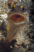 Shock Prints - Gold-speck Jawfish Mouth Wide Open Print by Mathieu Meur