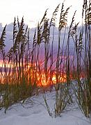 Sea Oats Photo Framed Prints - Golden Amber Framed Print by Janet Fikar