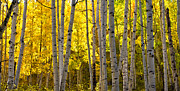 Pauls Colorado Photography Prints - Golden Aspen Crop Print by Paul Gana