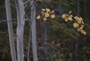 Woodland Scenes Posters - Golden Aspen Leaves Adorn A Branch Poster by Raymond Gehman
