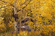 Turning Leaves Prints - Golden Aspen Stand Print by Michael Kirsh