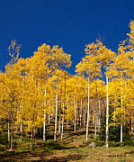 Golden Aspen Stands Print by Stephen  Johnson