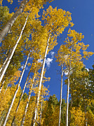 Autumn Trees Prints - Golden Aspens 2 in the San Juan Moutains Print by Alex Cassels