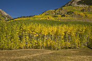 Crested Butte Framed Prints - Golden Aspens in Crested Butte Framed Print by Timothy Johnson