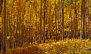 Autumn Trees Prints - Golden Aspens of Owl Creek Pass 2 Print by Alex Cassels
