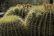 Prickers Photos - Golden Barrel Cactus by Phyllis Denton