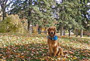 Goldens Prints - Golden Boy in the Golden Leaves Print by Kara Kincade