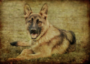 Shepherd Art - Golden Boy by Sandy Keeton