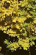 Golden Branches Print by Carol Lynch