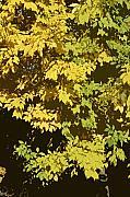 Golden Branches Print by Carol Lynch