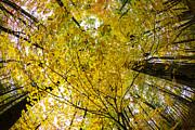 Golden Canopy Print by Rick Berk