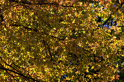 Fall Leaves Photos - Golden Canopy by Robert Ullmann