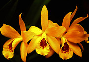 Cattleya Posters - Golden Cattleya Poster by Rosalie Scanlon