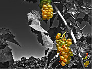 Winery Photography Prints - Golden Clusters Print by William Fields
