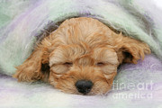 Sleeping Dog Posters - Golden Cockapoo Puppy Poster by Mark Taylor