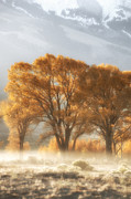 Nature Photographs Acrylic Prints - Golden Cottonwoods and Morning Fog Acrylic Print by Heather Swan